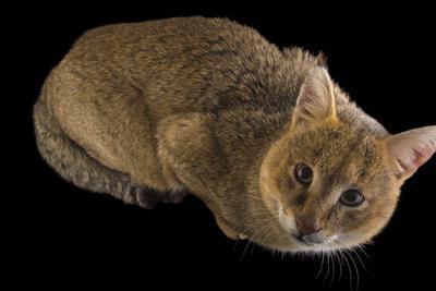 A Jungle Cat, Felis Chaus, at the Conservators Center