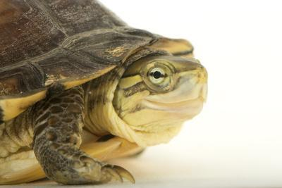 An Endangered Yellow Pond Turtle, Mauremys Mutica