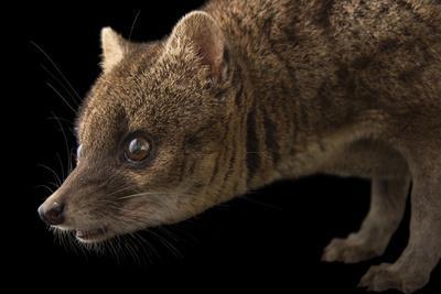 A Studio Portrait of a Malagasy Civet, Fossa Fossana
