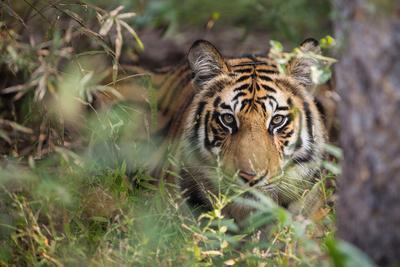 A Year-Old Bengal Tiger, Panthera Tigris Tigris, Hiding in the Brush of Bandhavgarh National Park