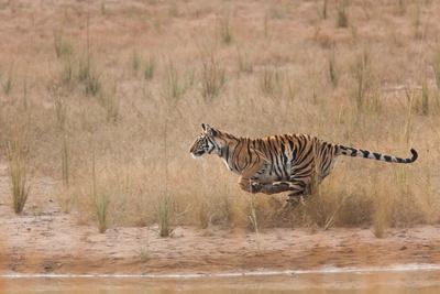 A Year-Old Bengal Tiger, Panthera Tigris Tigris, Running Along the Water's Edge