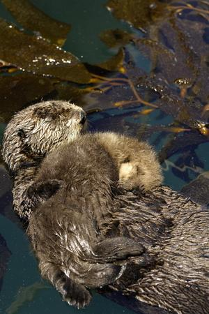 A Sea Otter Pup, Enhydra Lutris, Resting on its Mother's Stomach in a Kelp Bed