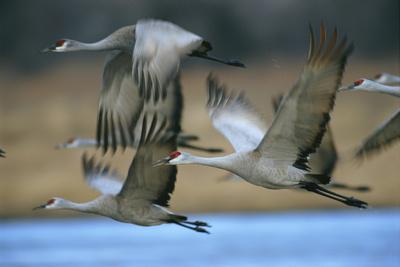 Sandhill Cranes Fly over the Platte River