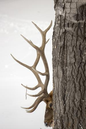A Bull Elk, Cervus Elaphus, with Six Points on Each Side of His Antlers, Indicating Full Maturity