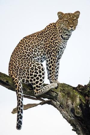 Leopard (Panthera Pardus) Sitting on a Tree, Ndutu, Ngorongoro Conservation Area, Tanzania