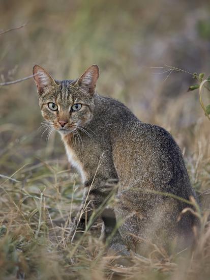 African Wild Cat Felis Silvestris Lybica Kruger