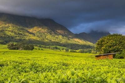 Tea Estate on Mount Mulanje, Malawi, Africa