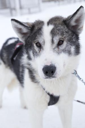 Husky Dog, Longyearbyen, Spitsbergen, Svalbard, Arctic Circle, Norway, Scandinavia
