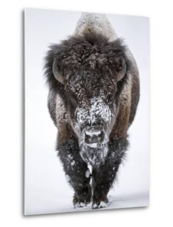 Portrait of an Snow-Dusted American Bison, Bison Bison