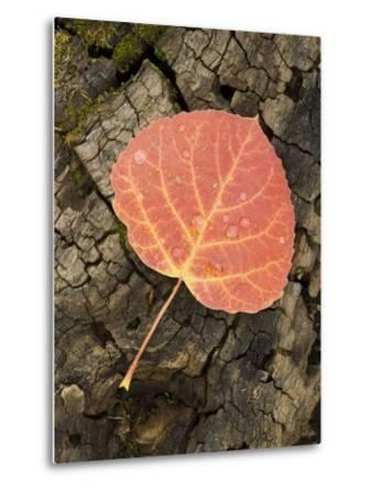 Red Aspen Leaf with Water Drops, Near Telluride, Colorado, United States of America, North America