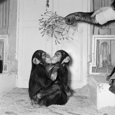 Chimpanzees of Bertram Mills Circus, 1955