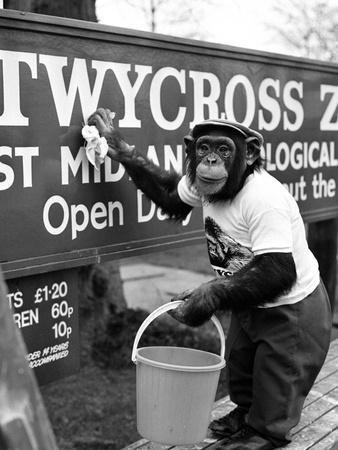 Twycross Zoo Chimpanzee cleaning