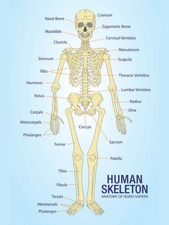 Human Skeleton Anatomy Anatomical Chart Poster Print
