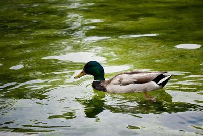 Mallard on the Go Photo Print Poster