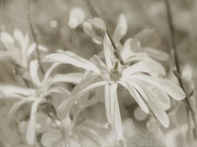Star Magnolias I