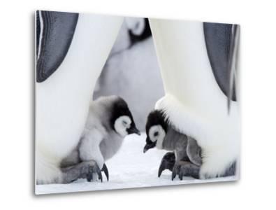 Emperor Penguin Chicks, Snow Hill Island, Weddell Sea, Antarctica, Polar Regions