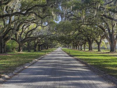 Driveway Beneath Stately Live Oak Trees Draped in Spanish Moss, Boone Hall Plantation