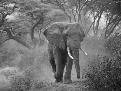 Loxodonta Africana, Lake Manyara National Park, Tanzania