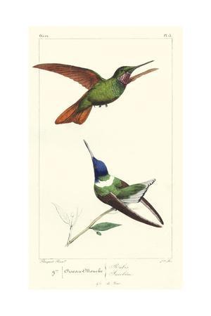 Lemaire Hummingbirds II