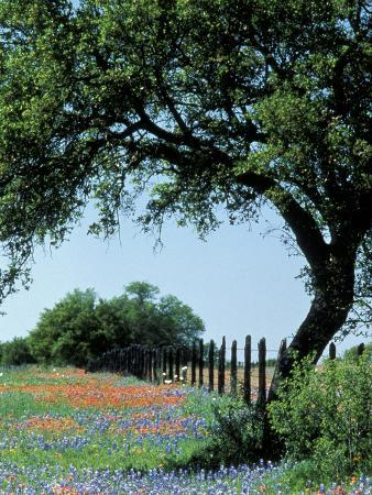 Paintbrush and Bluebonnets, Texas Hill Country, Texas, USA