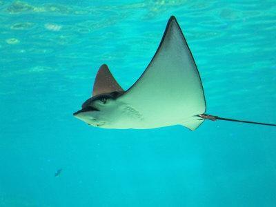 Sting Ray, Sea World, Gold Coast, Queensland, Australia