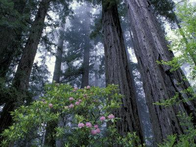 Coast Trail, Redwoods and Rhododendrons, Del Norte Coast State Park, California, USA