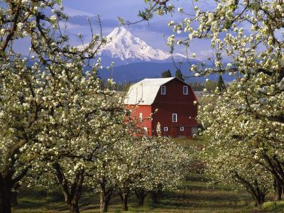 Red Barn in Pear Orchard, Mt. Hood, Hood River County, Oregon, USA