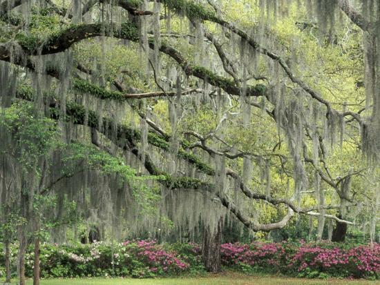 Live Oak Tree D With Spanish Moss Savannah Georgia