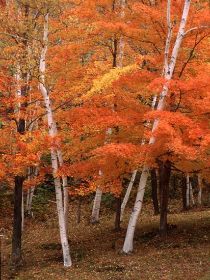 White Birch Trees In Fall Vermont Usa Photographic Print
