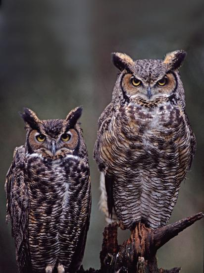 Great Horned Owls Washington Usa Photographic Print By
