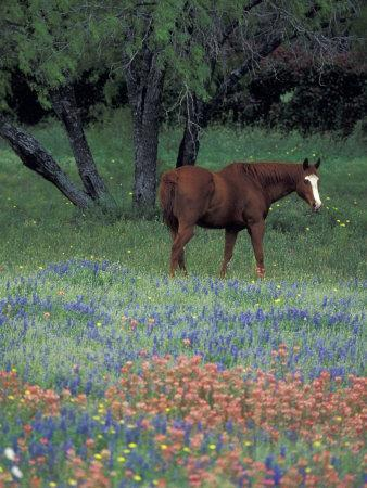Texas Paintbrush and Bluebonnets, East of Lytle Horse, Texas, USA
