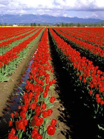 Red Tulip Rows, Skagit Valley, Washington State, USA