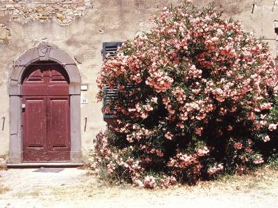Door and Pink Oleander Flowers, Lucardo, Tuscany, Italy