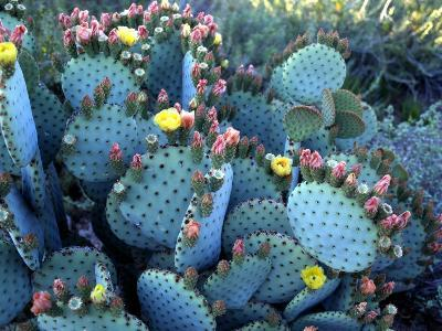 Beavertail Cactus, Desert Botanical Gardens, Phoenix, Arizona, USA