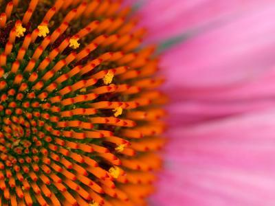 Close-up of a Cone Flower in the summertime, Sammamish, Washington