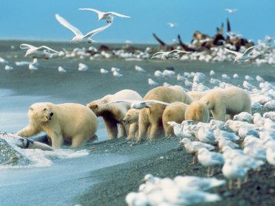 Alaskan Brown Bear Roars, McNeil River State Game Preserve, Alaska, USA