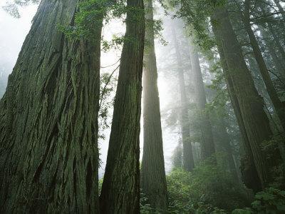 Redwoods in fog, Redwood National Park, California, USA