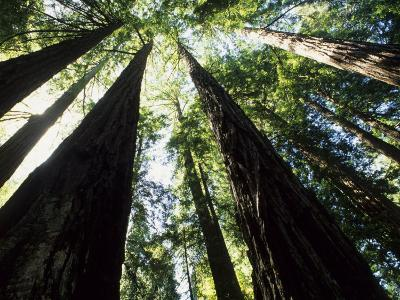 Old Redwood Trees, Muir Woods, California, USA