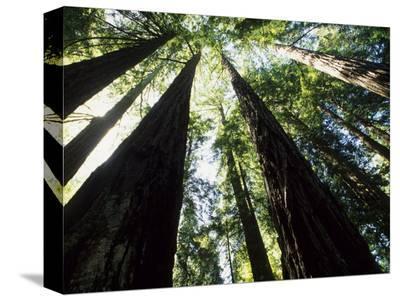 Old Redwood Trees, Muir Woods, California, USA
