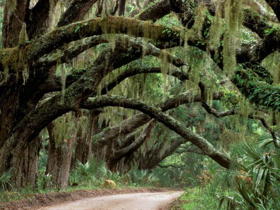 Oak Trees And Spanish Moss Berland Georgia