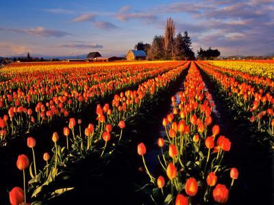 Commercial Tulip Field in the Skagit Valley, Washington, USA