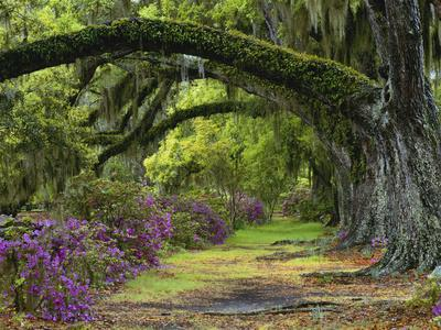 Coast Live Oaks and Azaleas Blossom, Magnolia Plantation, Charleston, South Carolina, USA