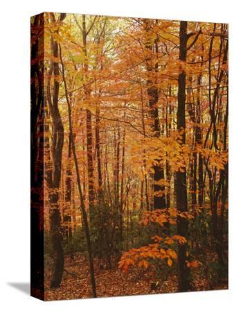 Autumn forest, Blue Ridge Parkway, Virginia, USA