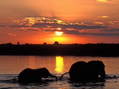 Herd of Elephants, Chobe River at Sunset, Chobe National Park, Botswana
