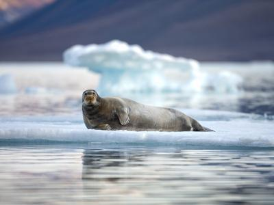 Bearded Seal Resting on Sea Ice Along Lomfjorden at Sunset, Spitsbergen Island, Svalbard, Norway
