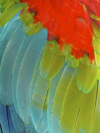 Scarlet Macaw (Ara Macao), Argentina