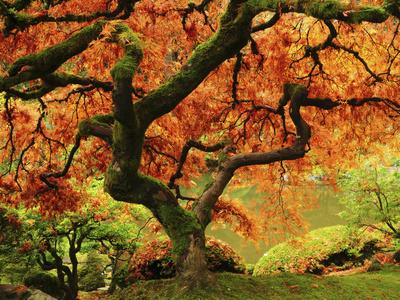Japanese Maple in Full Fall Color, Portland Japanese Garden, Portland, Oregon, USA