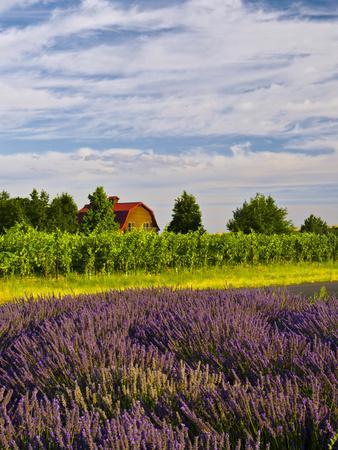 Lavender Fields Border Vineyard, Walla Walla, Washington, USA