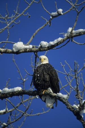 Bald Eagle, Chilkat River, Haines, Alaska, USA