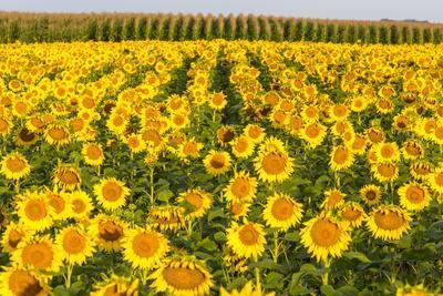 Sunflower and Corn Field in Morning Light in Michigan, North Dakota, USA